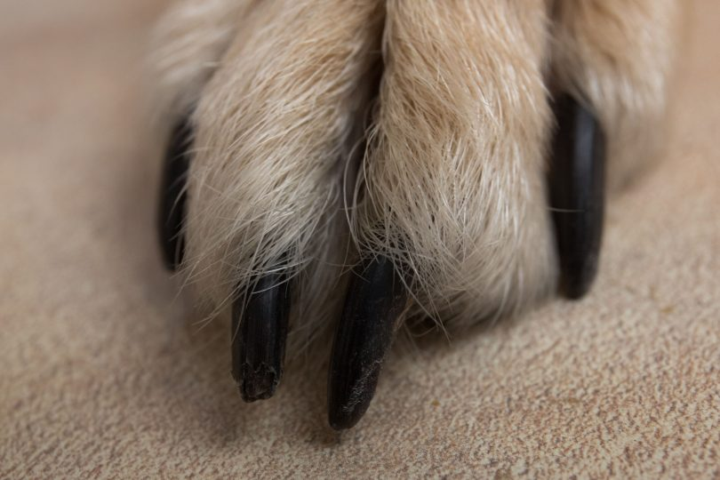 how to cu dogs nails that are black